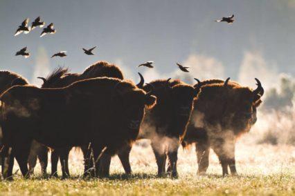 Belovezhskaya Puscha bizons Tiara Tours